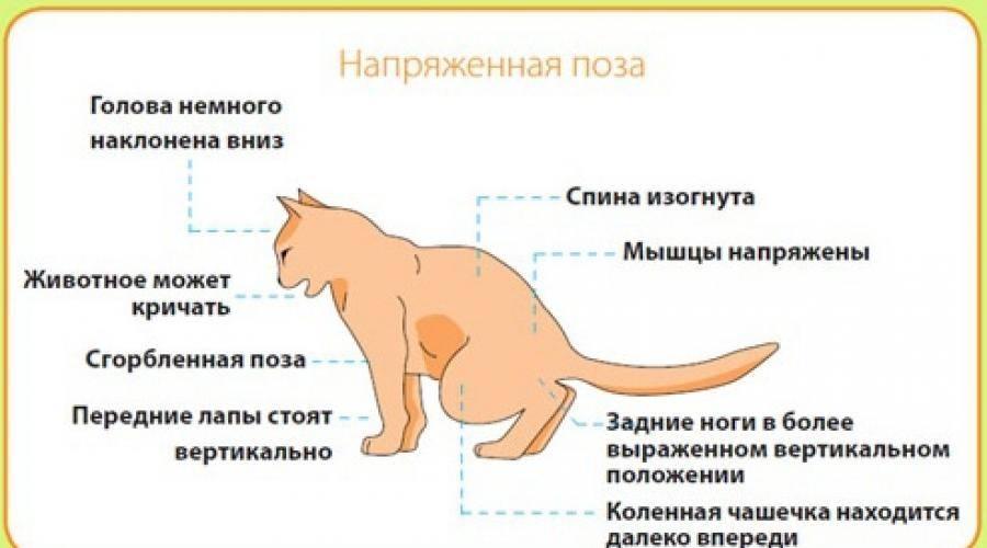 Идиопатический цистит кошек (fic)