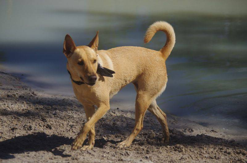 Анатолийская овчарка – карабаш: фото, правильный уход, характер собаки