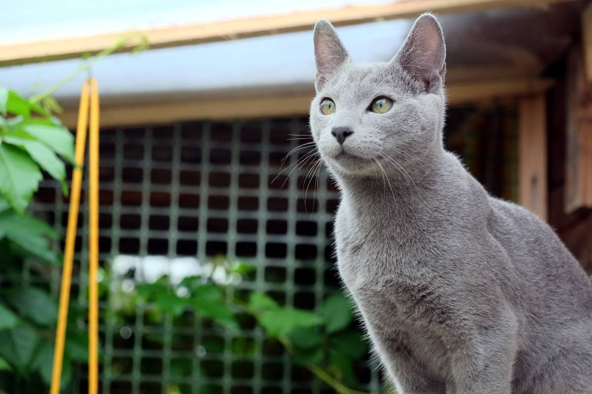 Русская голубая кошка. - русские голубые кошки. питомник звезда зодиака