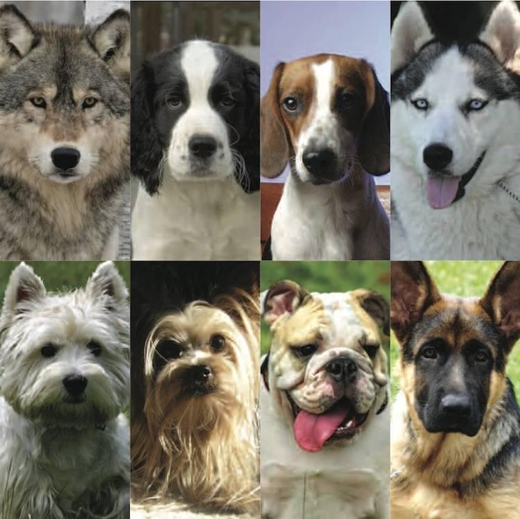 Разведение собак как бизнес — перечень подходящих пород