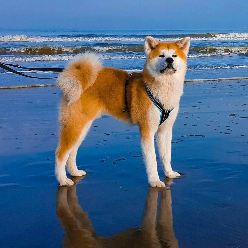 Породы собак: акита-ину