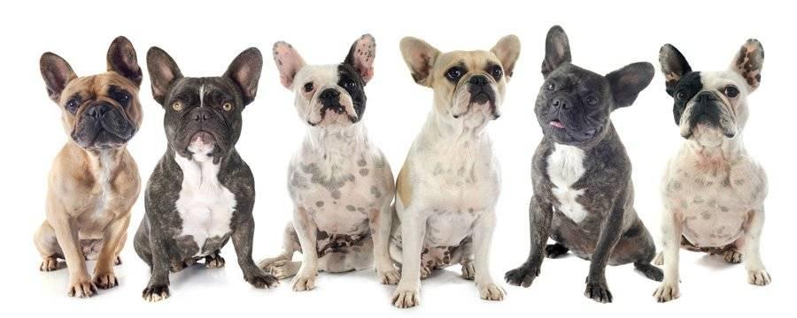 Имя для собаки французский бульдог мальчик. какие клички выбрать для французских бульдогов мальчиков и девочек - меднаука