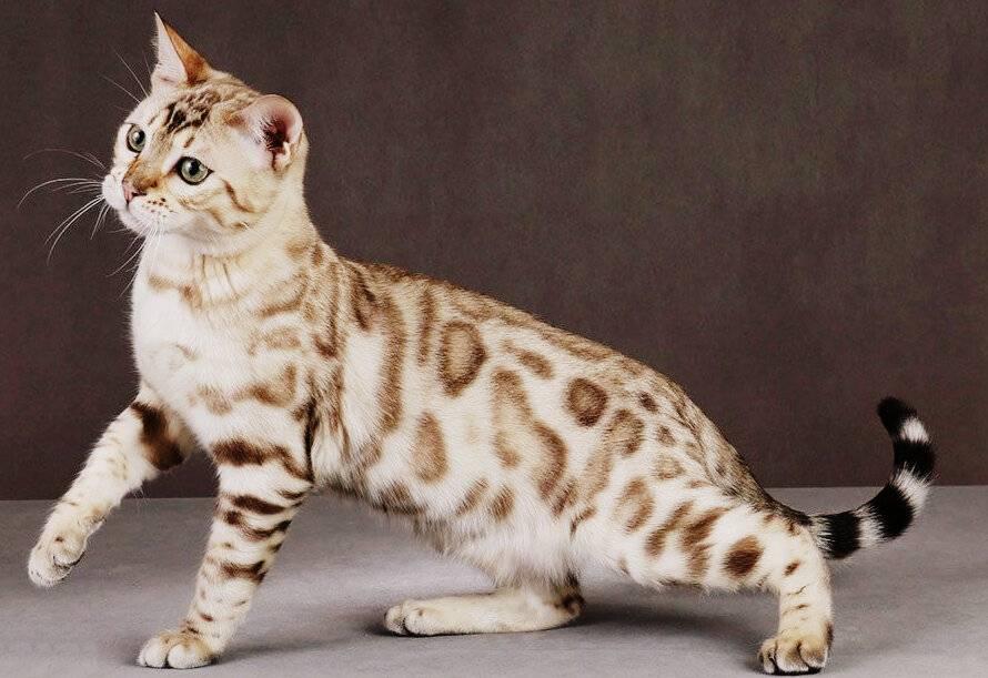 Кошачья экзотика: китайская кошка дракон ли хуа