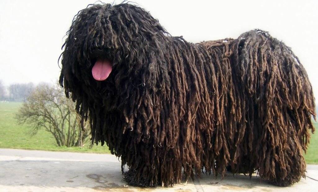 Редкие породы собак с фотографиями и названиями   petguru