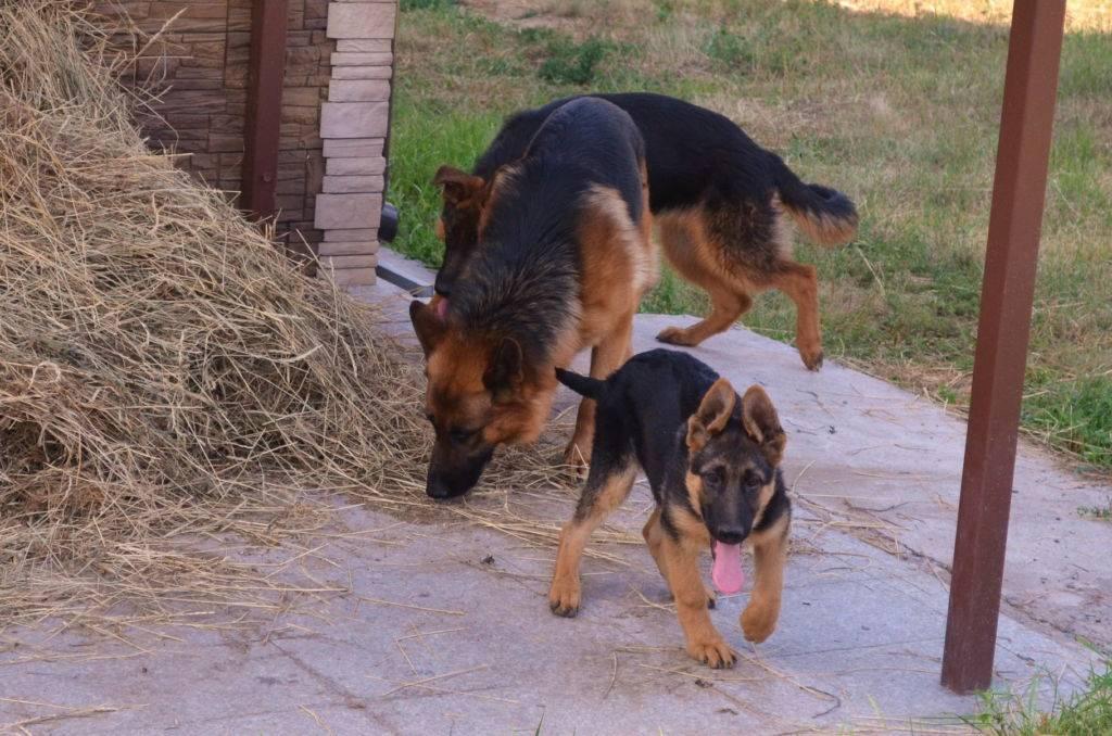 Дрессировка немецкой овчарки в домашних условиях: видео как дрессировать щенка самостоятельно, обучение командам