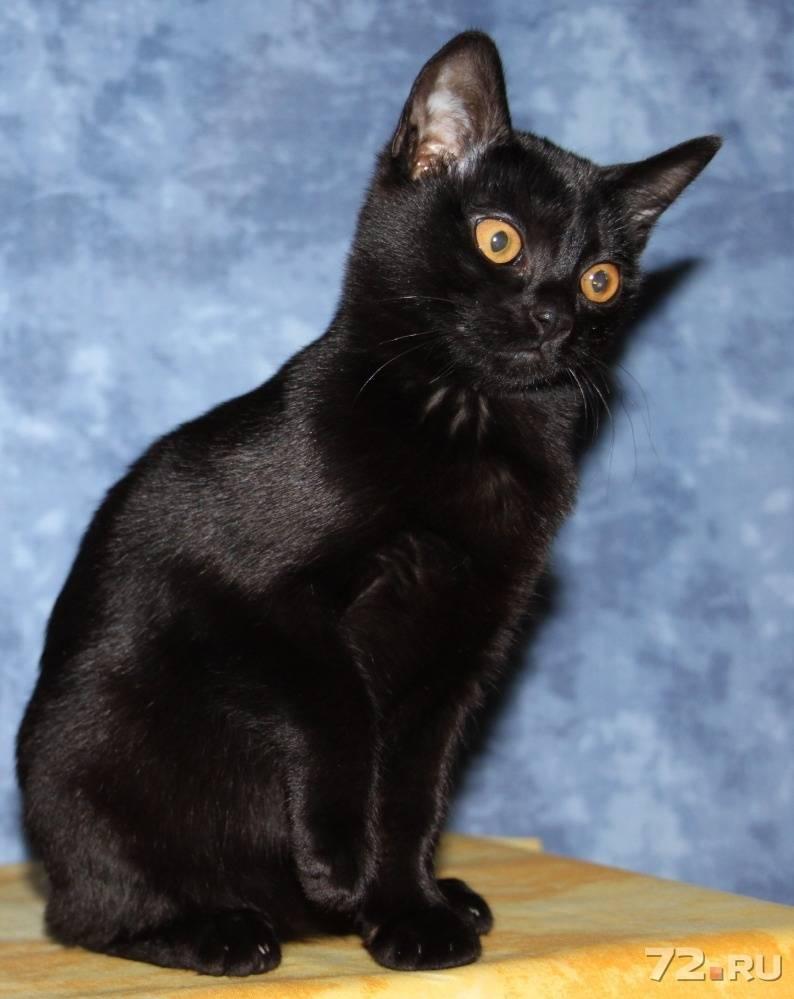 Бомбейская кошка: все о кошке, фото, описание породы, характер, цена