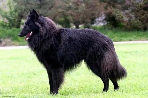 Собаки с длинными ушами: породы