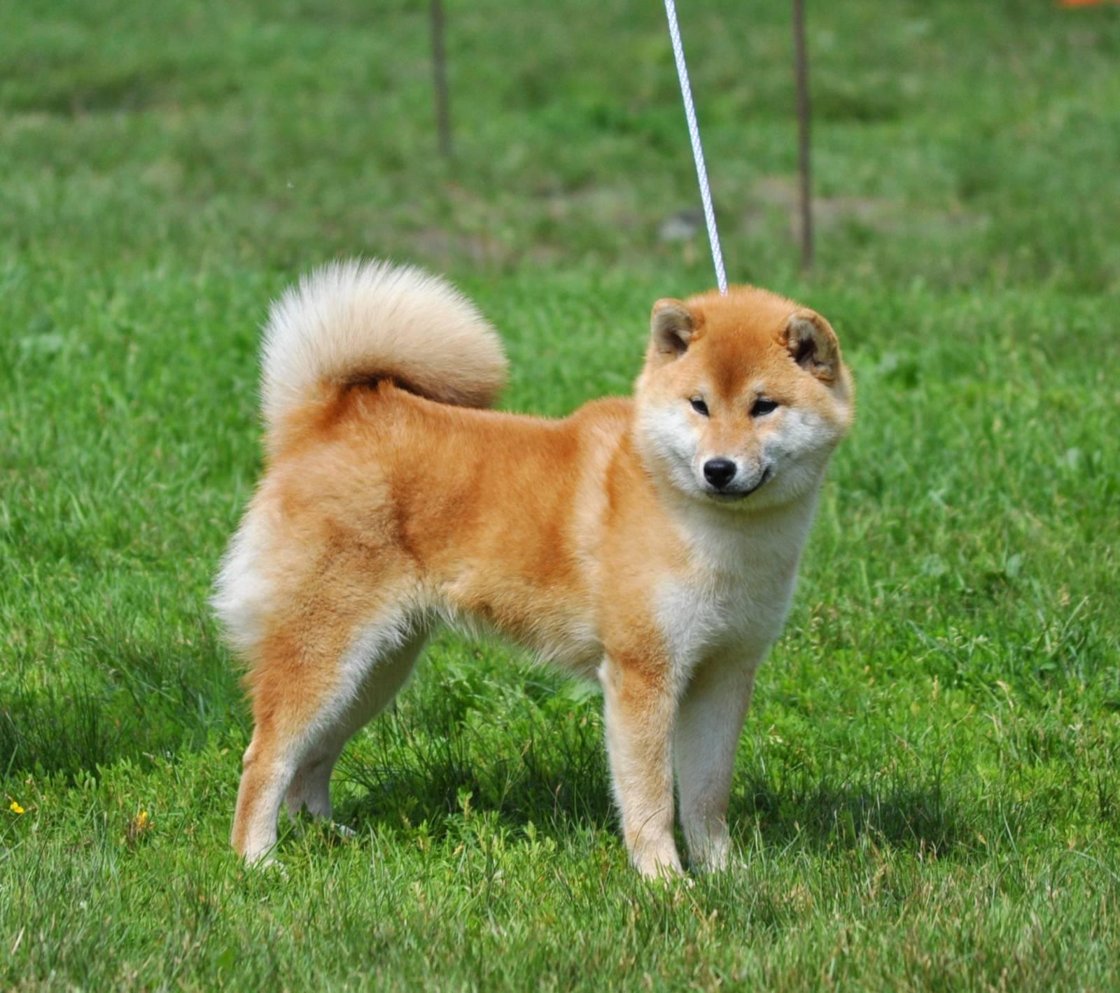 Как называются породы собак, похожих на рыжих лисичек с большими ушами