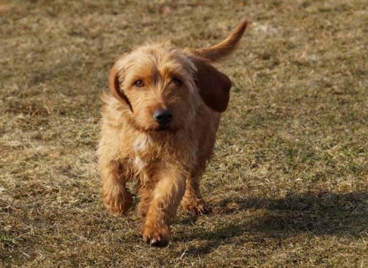 Бассет-хаунд: все о собаке, фото, описание породы, характер, цена