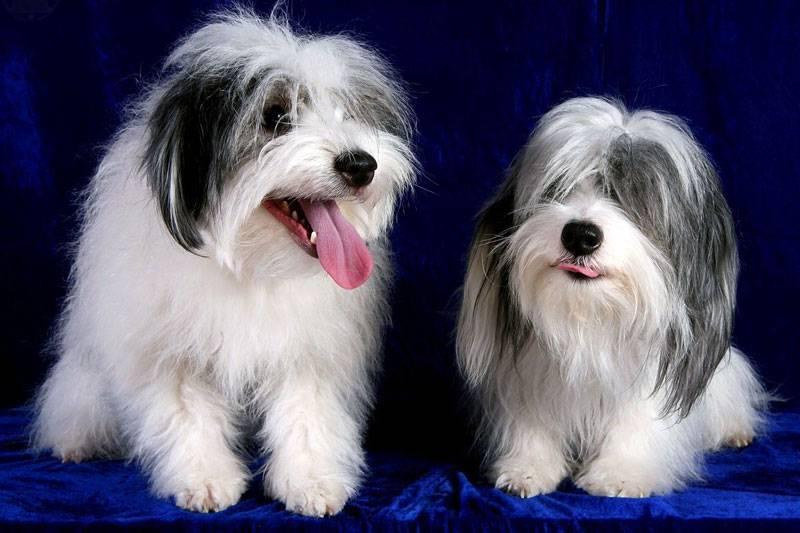 Порода собак одис: описание, характеристика, стандарт, минусы и плюсы