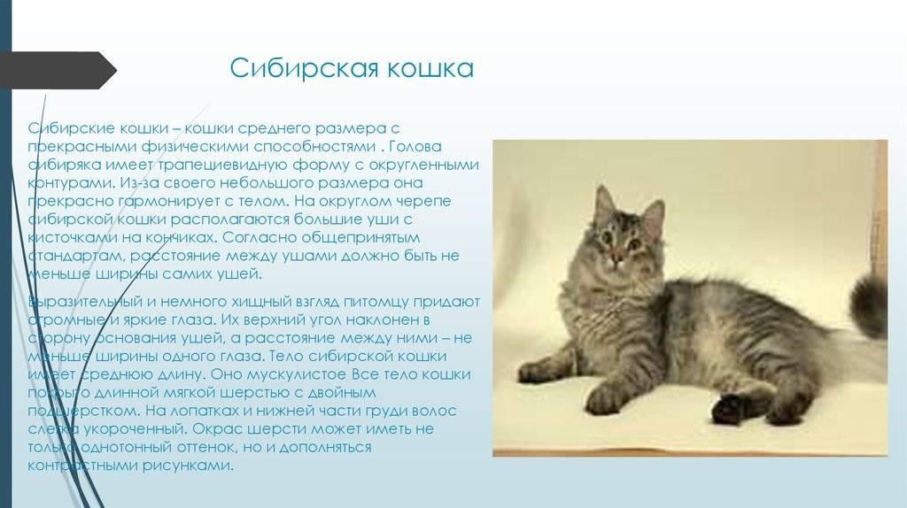Порода сибирские кошки, описание, характер, как выглядят, повадки и сколько живут, характеристики котят