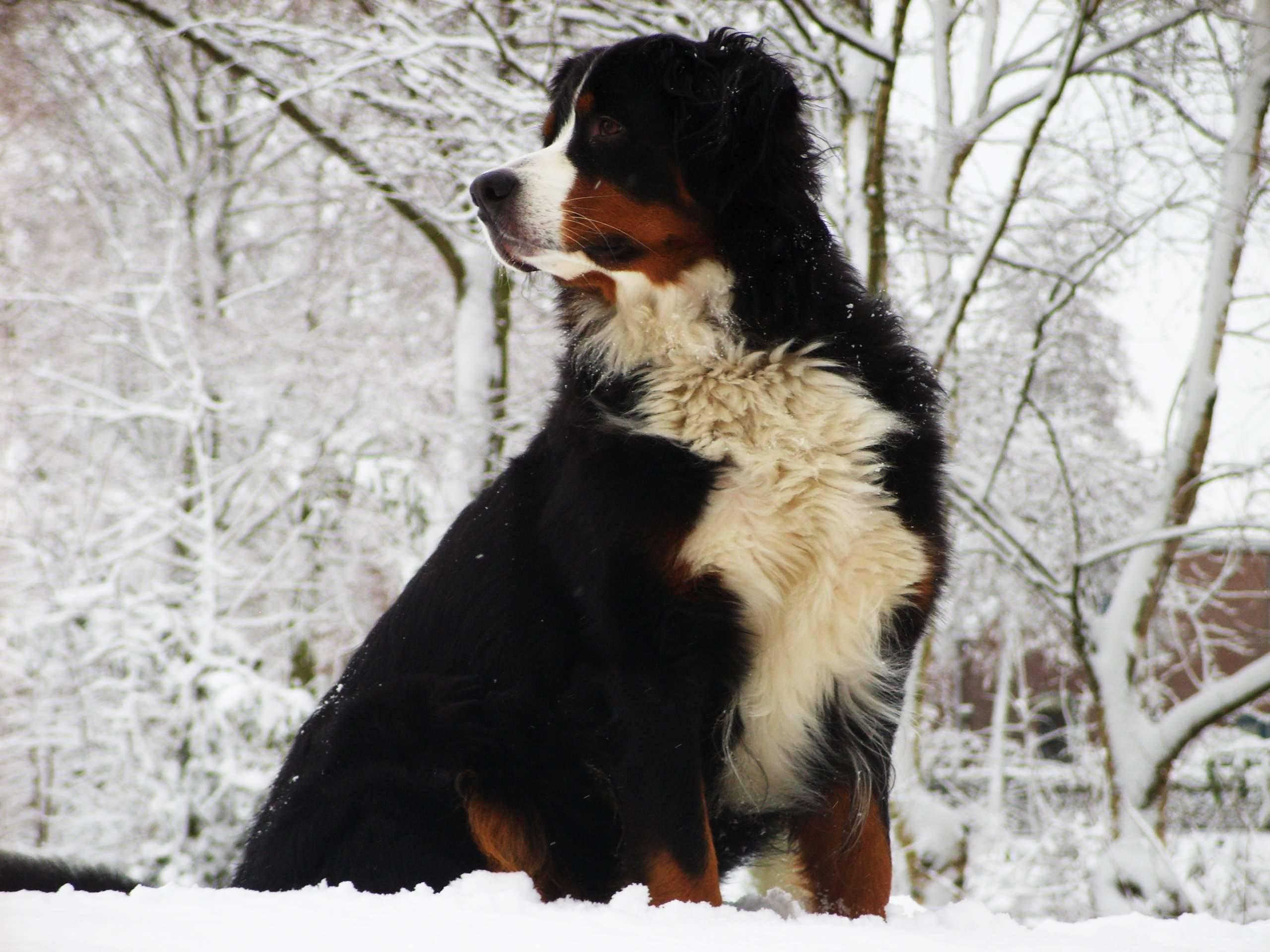 Бернский зенненхунд (Бернская горная пастушья собака)