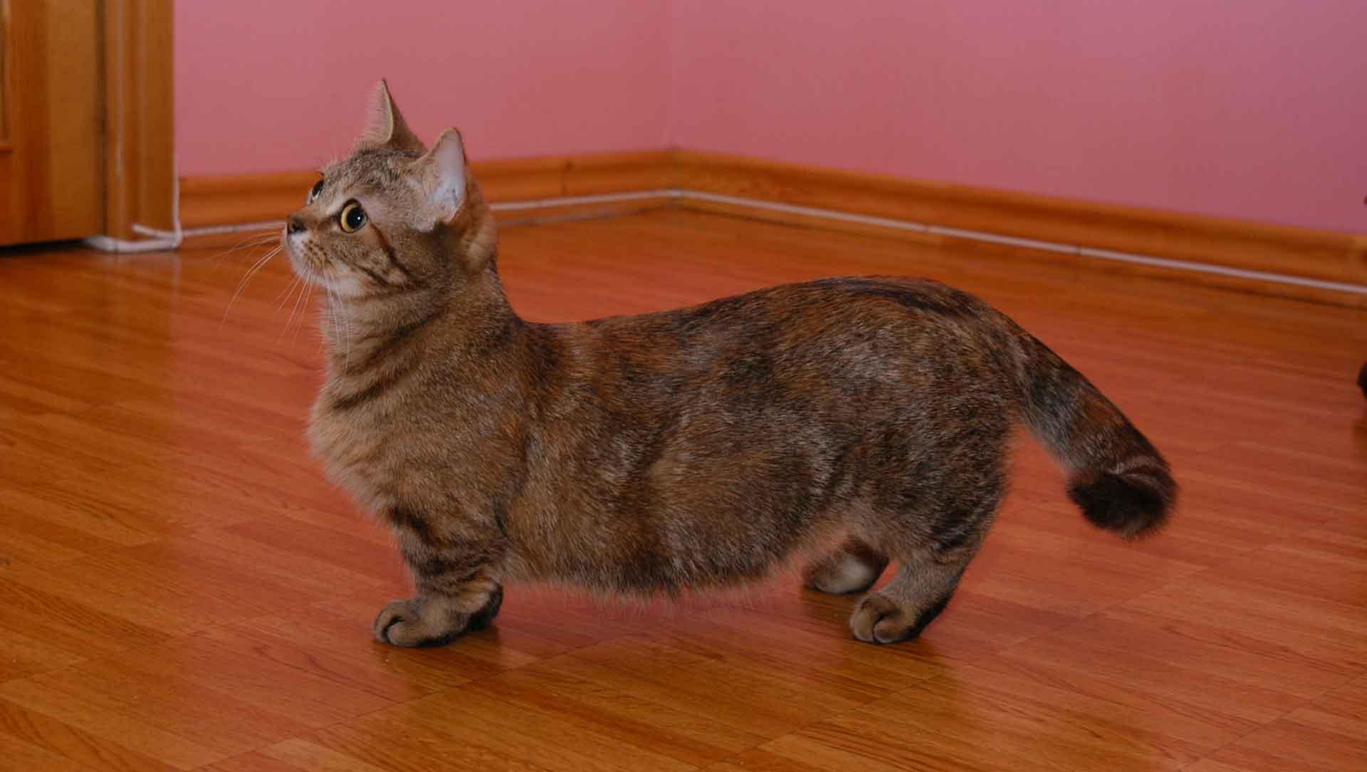 Карликовые коты и кошки: какая порода признана самой маленькой в мире, особенности