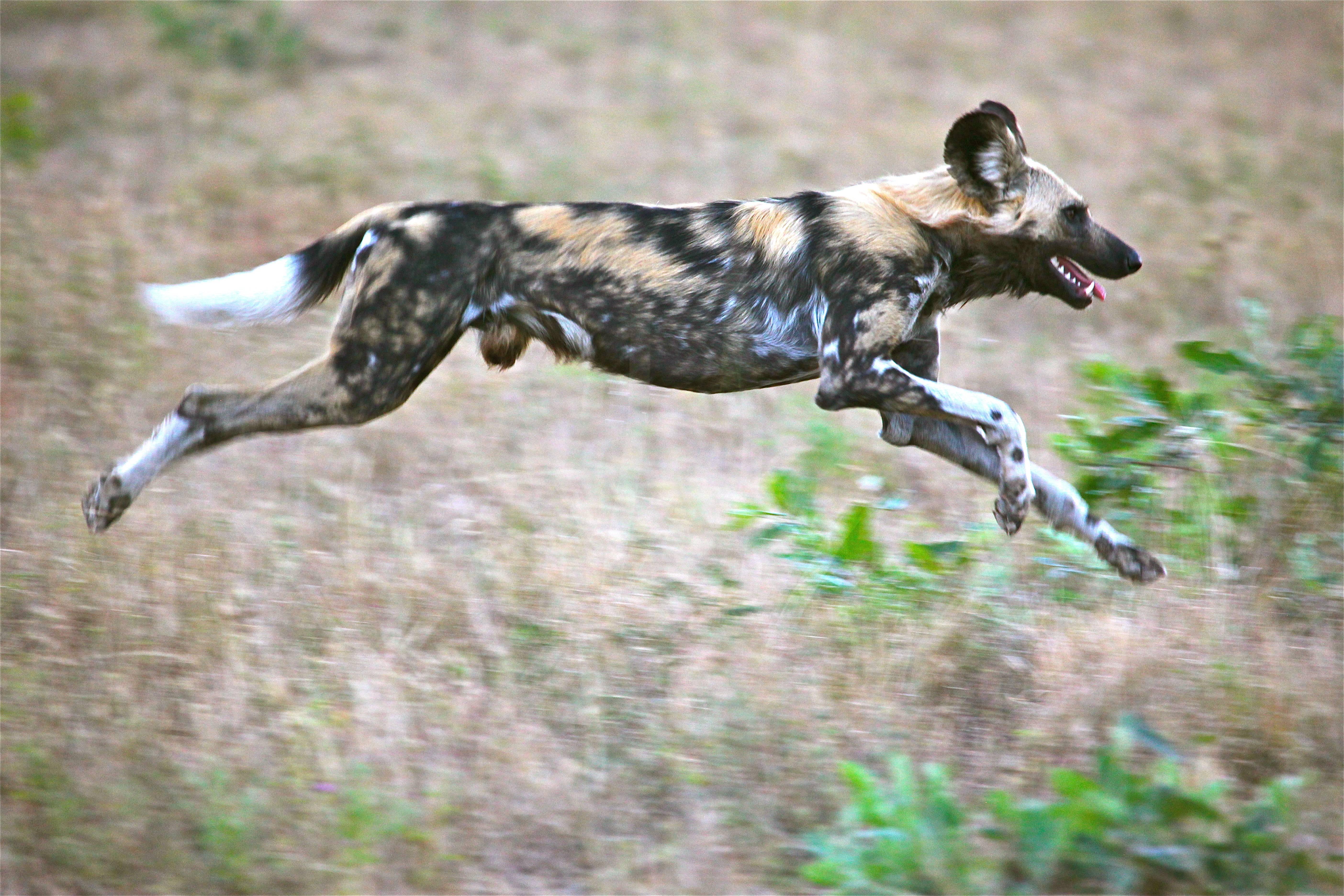 Обзор самых быстрых в мире собак