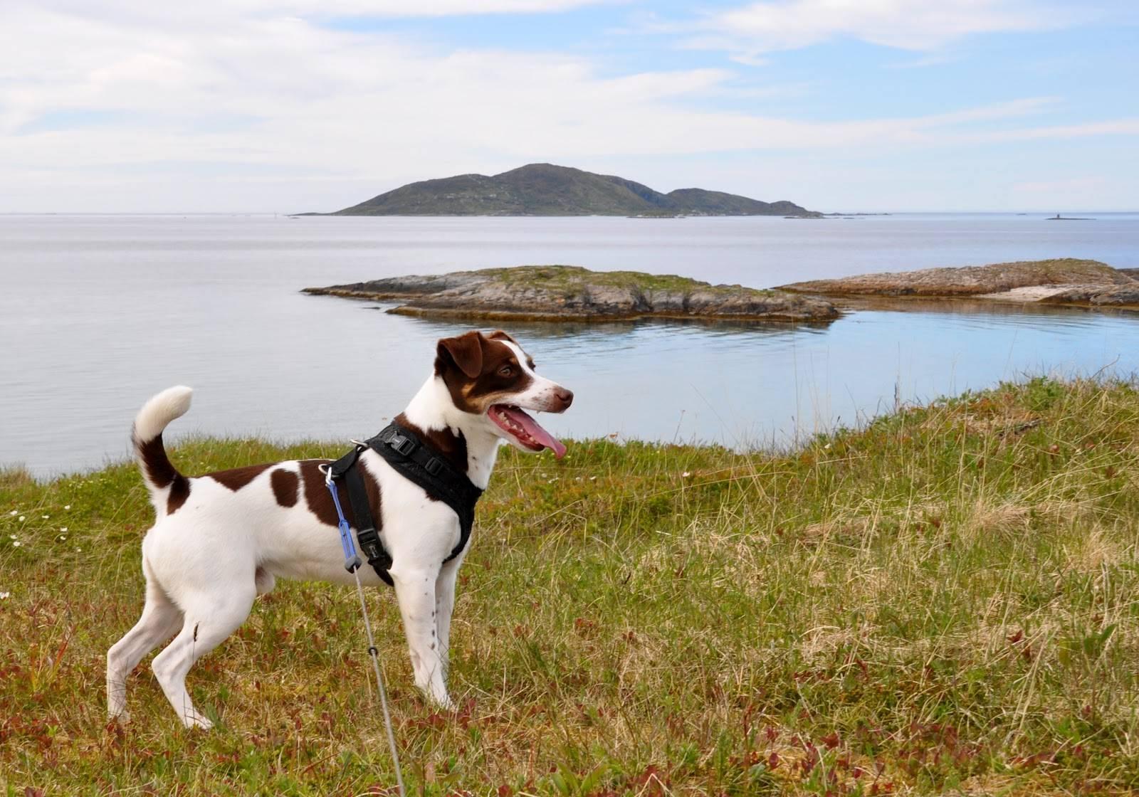 Датско-шведская фермерская собака (Датско-шведский гардхунд)