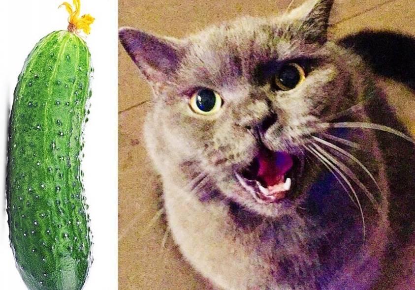 Почему коты боятся огурцов: особенности поведения кошки и опасные последствия испуга