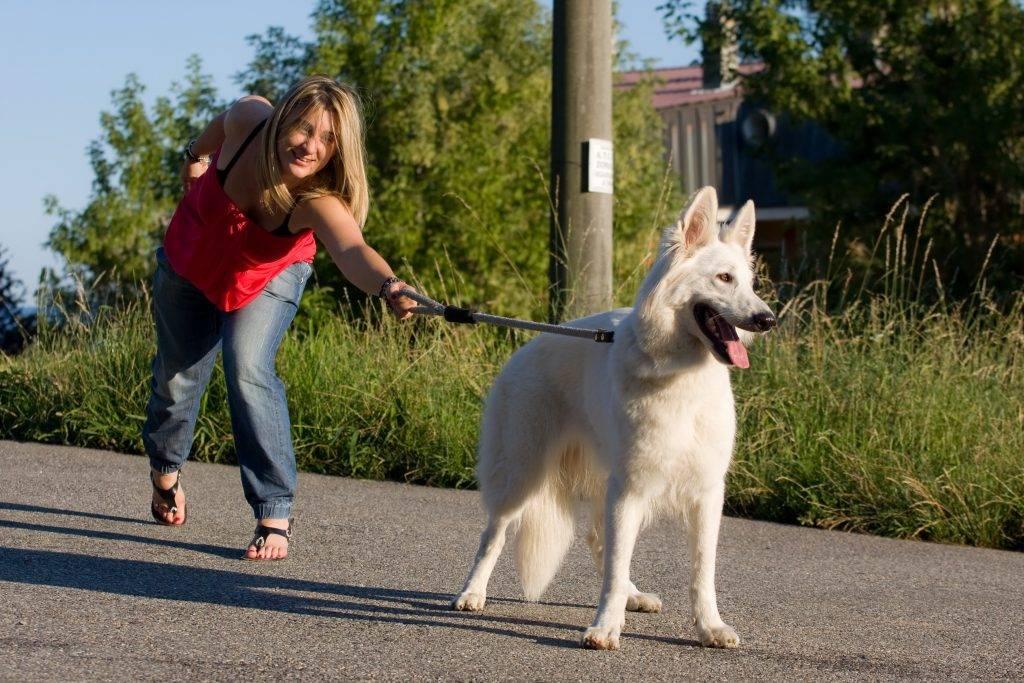 Приучаем взрослую собаку к поводку: подробная инструкция