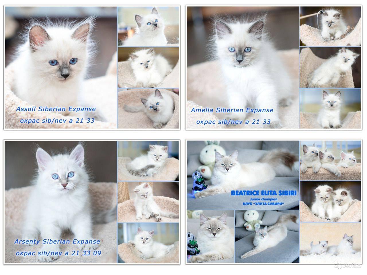 Невский маскарадный кот: описание породы, фото