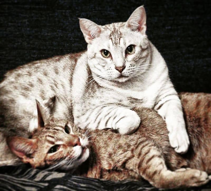 Кошка каракет: описание породы, характер, советы по содержанию и уходу, фото