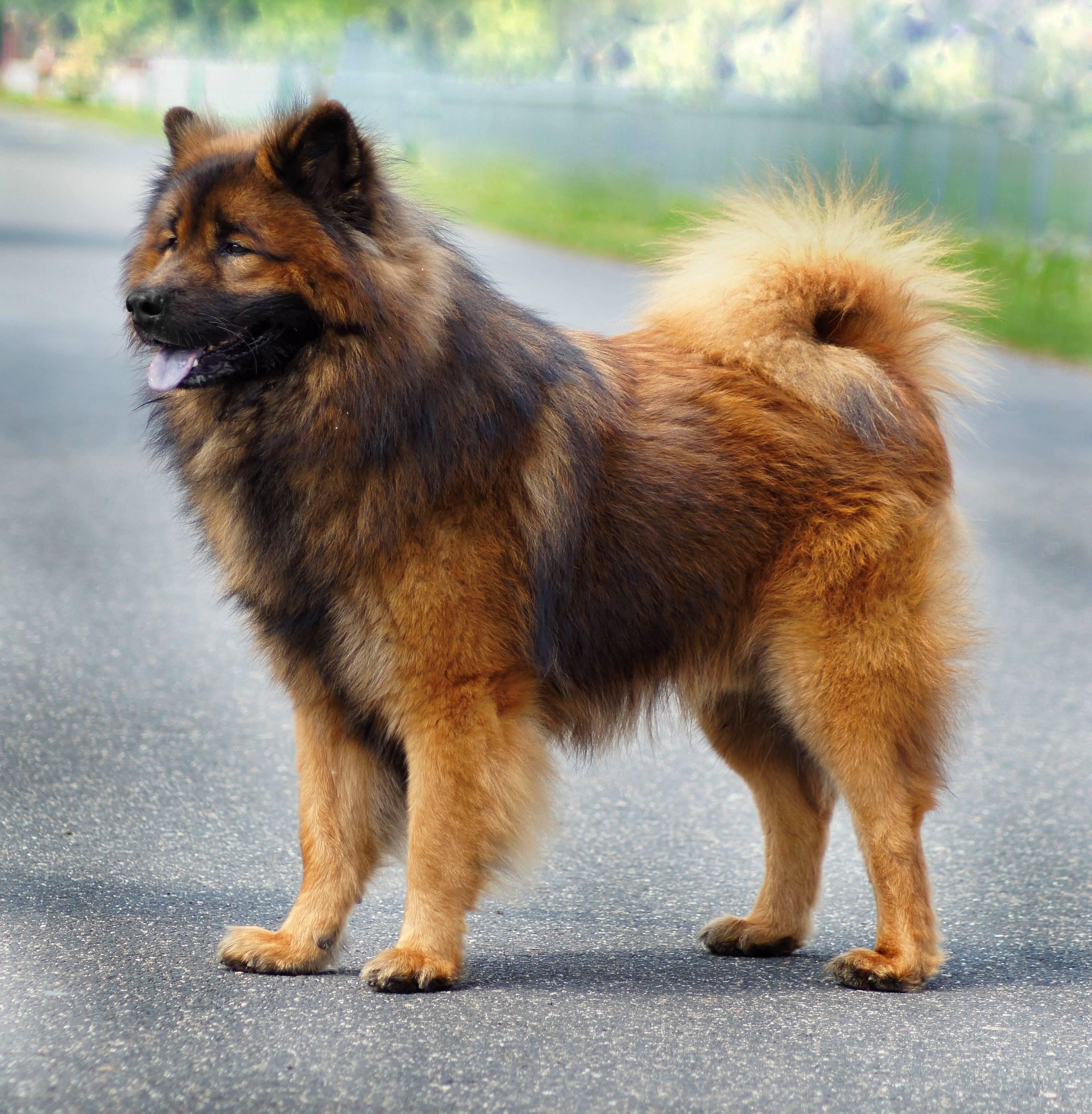 Маленькая, амбициозная собачка – карликовый шпиц или карликовый померанский шпиц