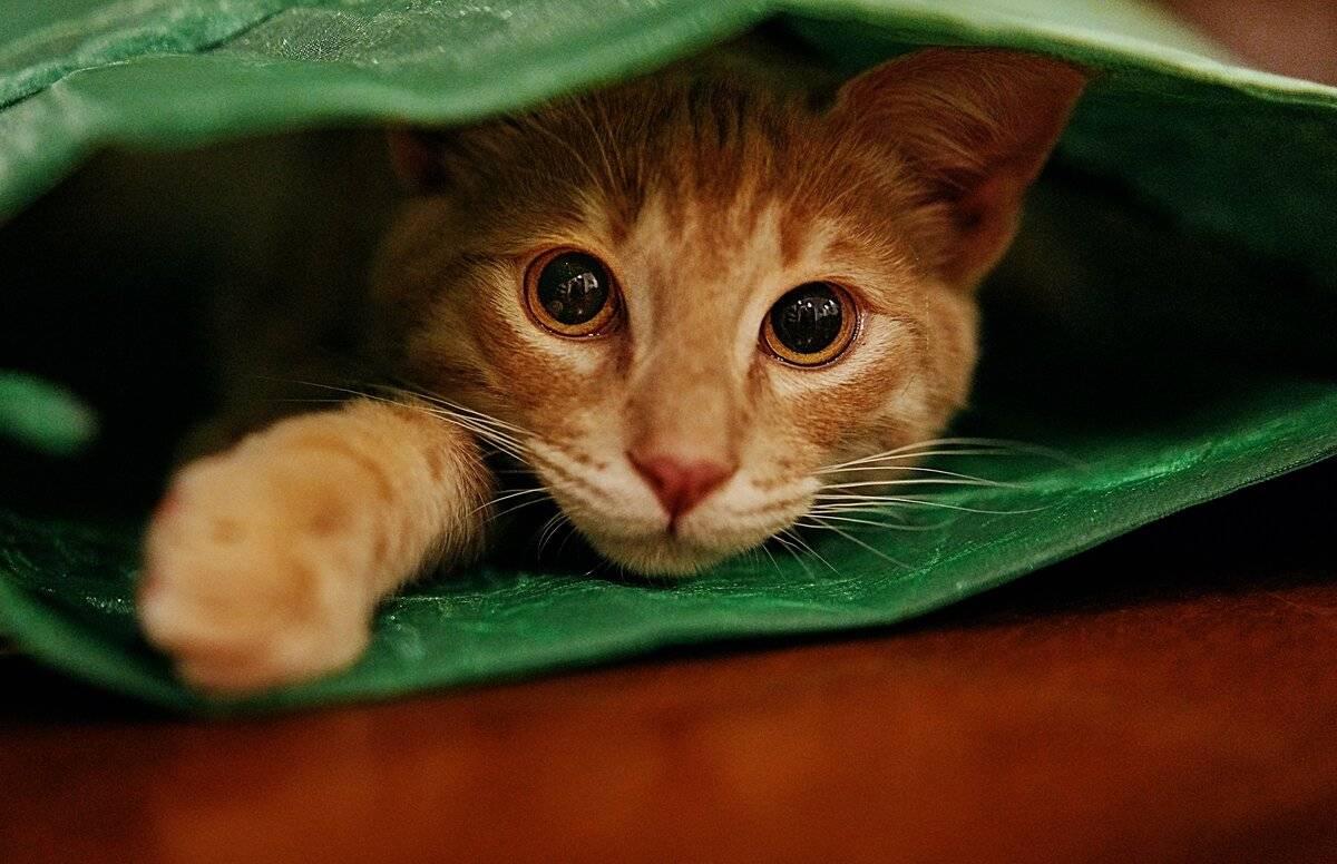 Стрижка кошек: плюсы и минусы, особенности процедуры
