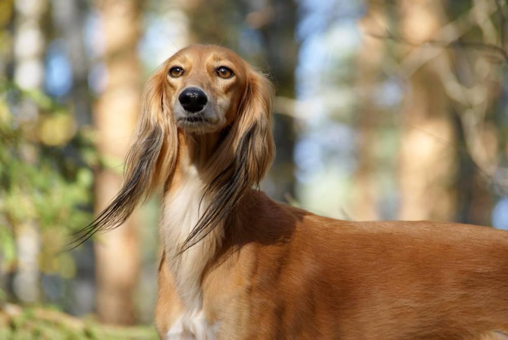 Характеристика собак салюков: внешний вид и рост персидской борзой породы