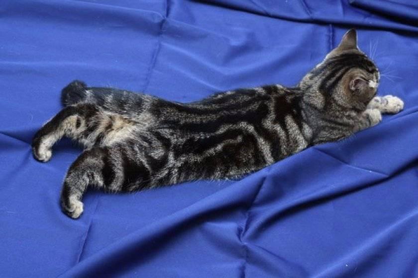 Течка у кошек: как часто бывает, когда начинается первая течка у кошек, признаки эструса, как ухаживать за питомицей