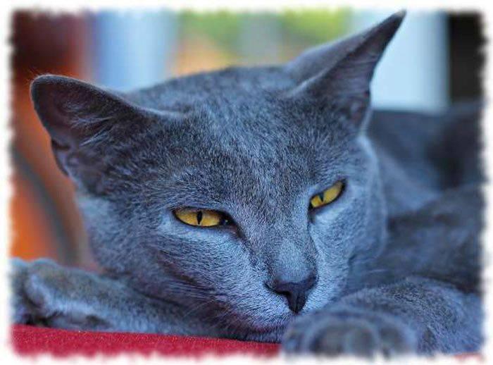 Кошки шартрез: информация и характерные особенности