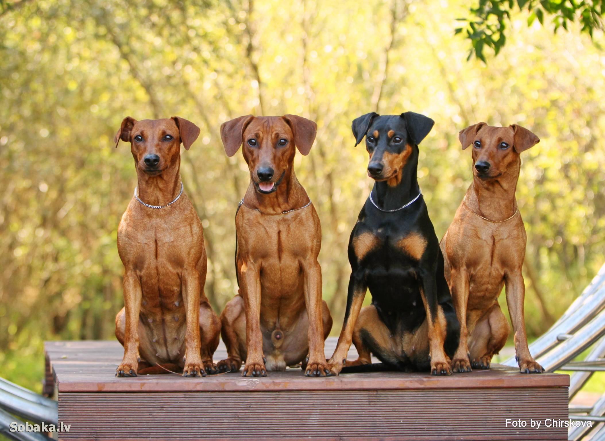 Как выглядят все породы собак группы пинчер
