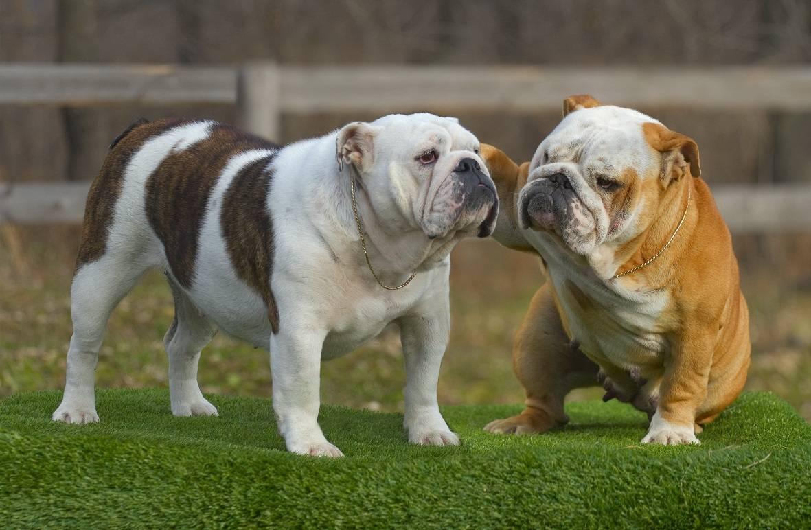 Французский бульдог: виды расцветки, фото собак и генетические особенности окрасов + как происходит развитие у щенков по месяцам