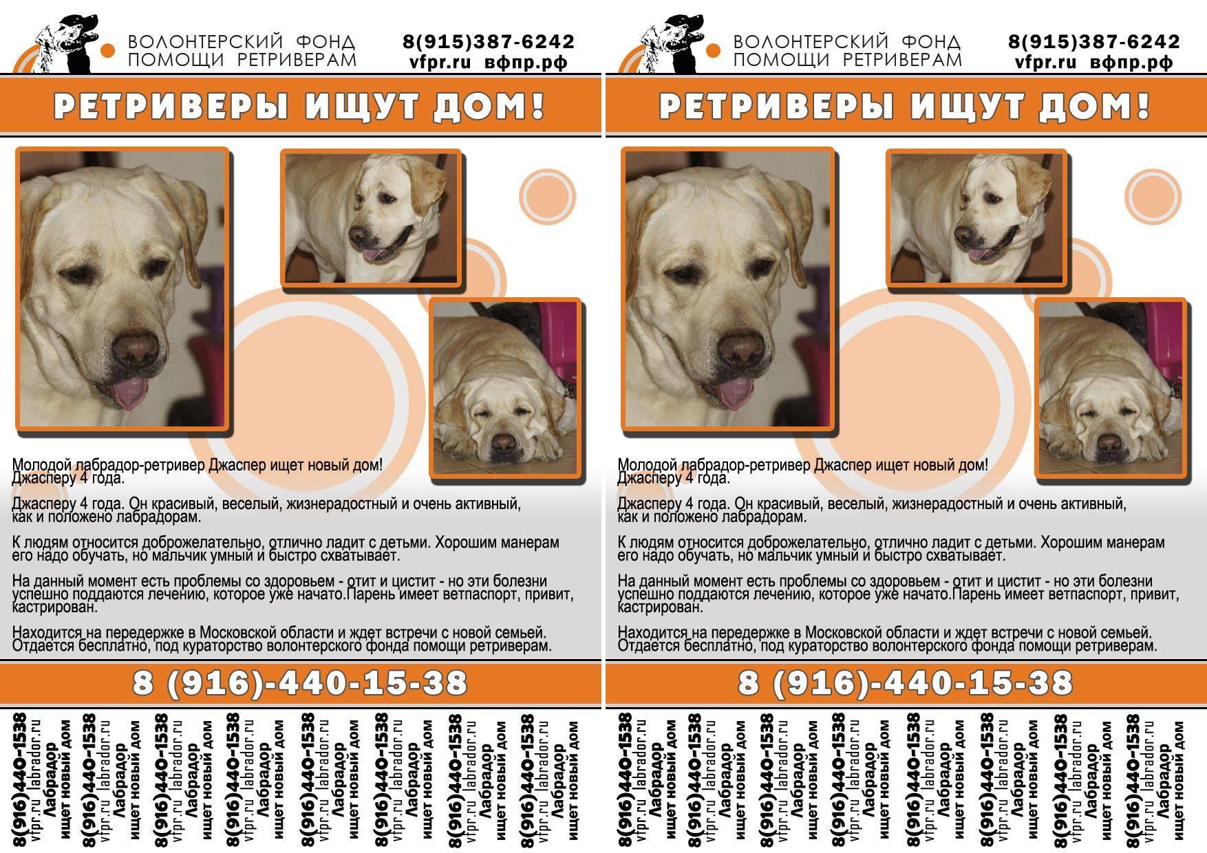 Лабрадор-ретривер - порода собак - информация и особенностях | хиллс