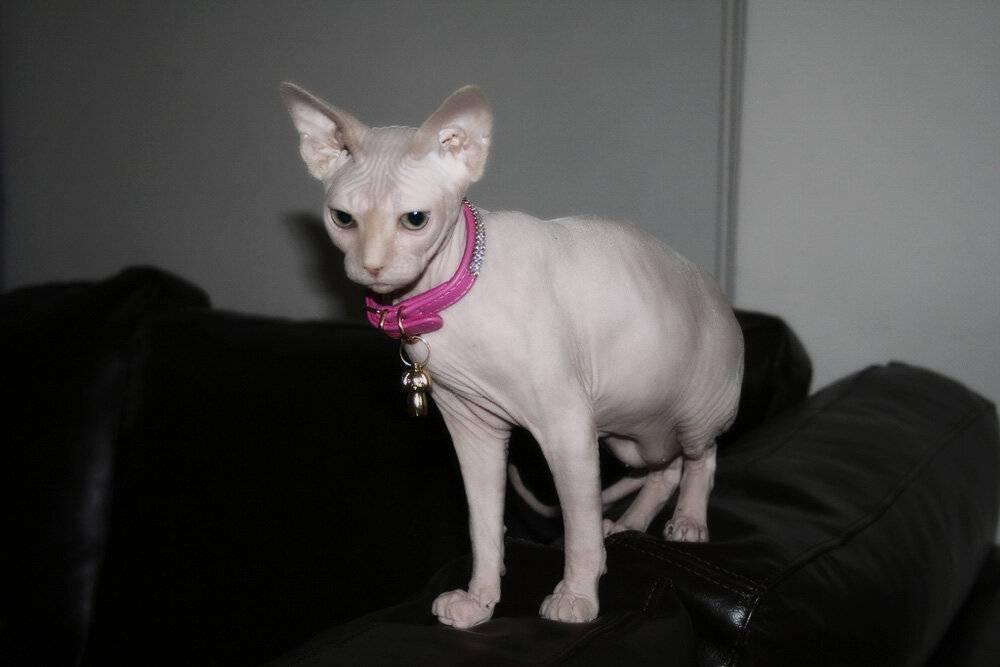 Топ-10 самых умных пород кошек в мире