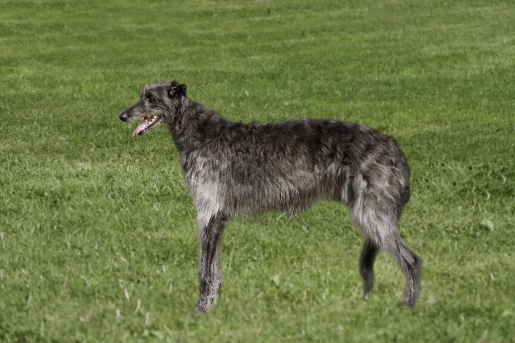 Шотландская борзая (дирхаунд) — описание породы собак