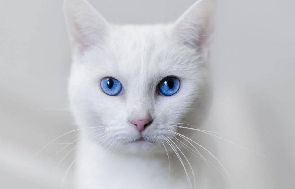 Описание и характер кошки као мани