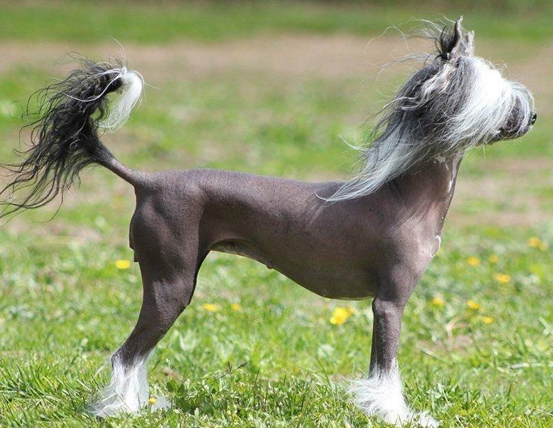 Пуховая китайская хохлатая собака