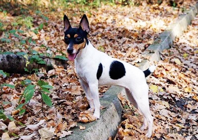 Порода собак той-фокстерьер: описание, фото, характеристики, содержание, уход