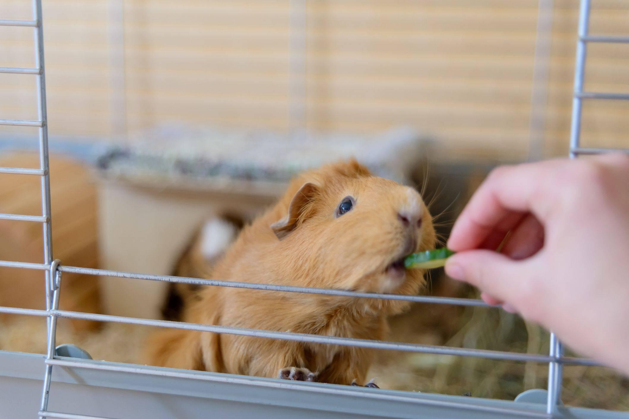 Уход и содержание морских свинок в домашних условиях: как правильно ухаживать для начинающих, чем кормить в квартире, питание и поведение дома, отзывы
