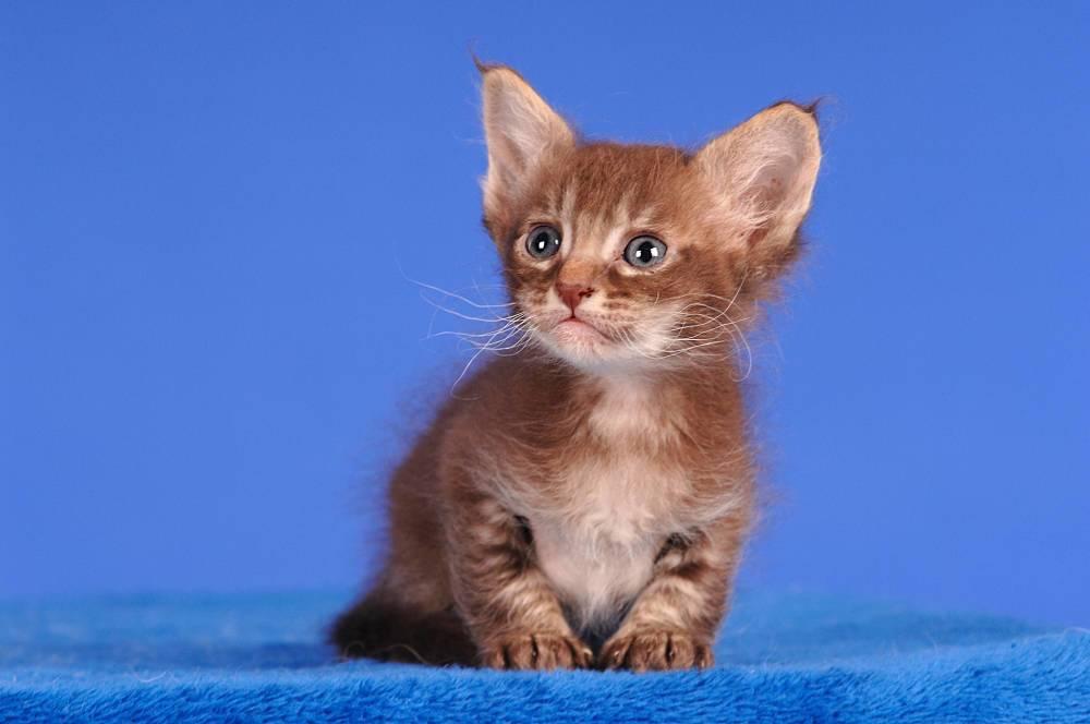 Маленькие кошки (27 фото): названия пород карликовых котята, самый маленький кот в мире