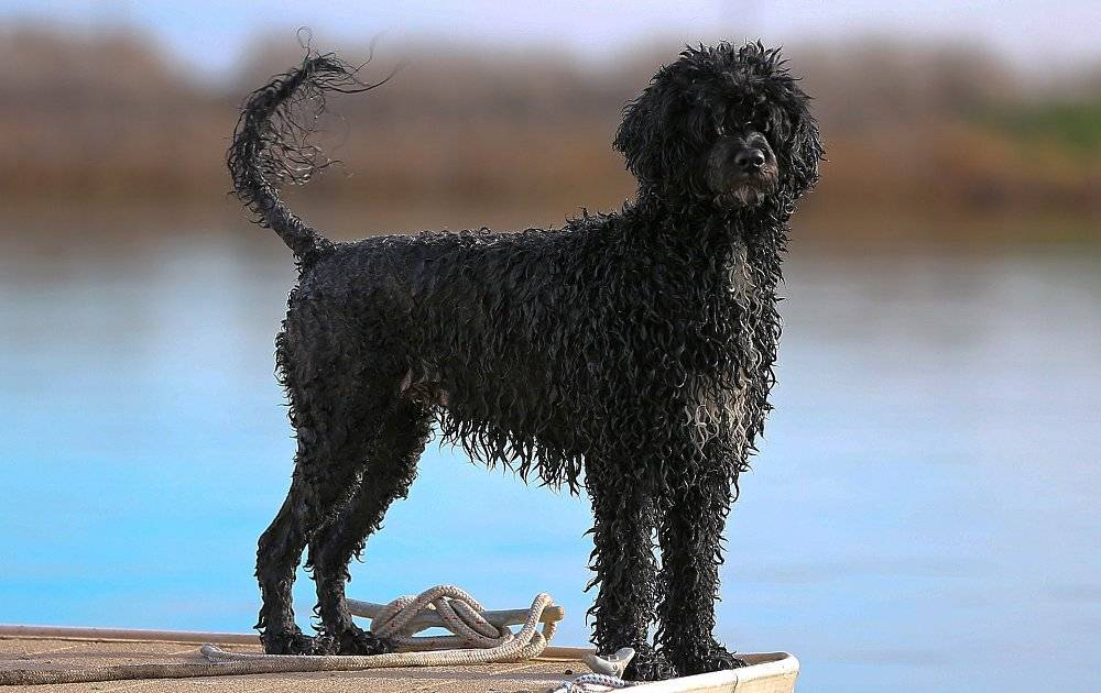 Португальская водяная собака: 95 фото и видео описание стандартов породы