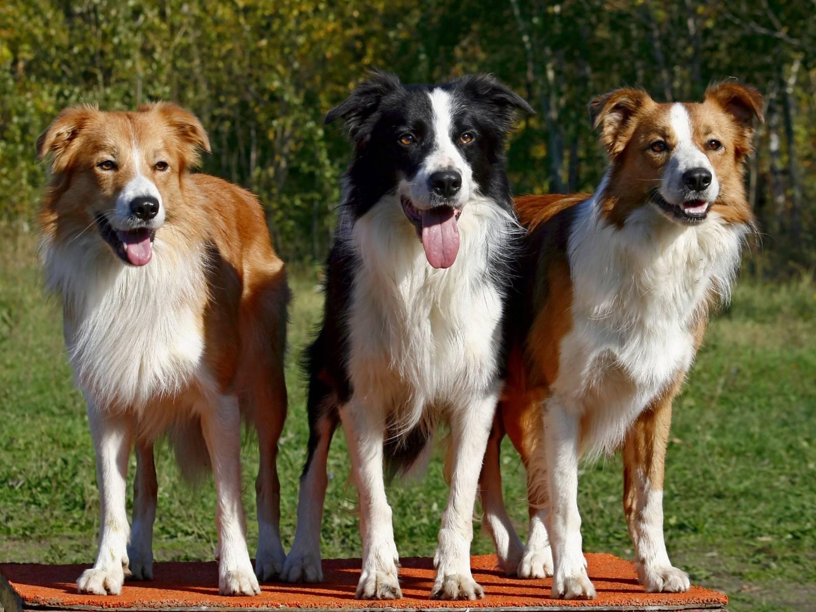 Породы пастушьих собак