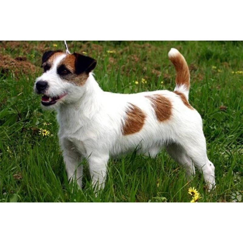 Парсон-рассел-терьер: все о собаке, фото, описание породы, характер, цена