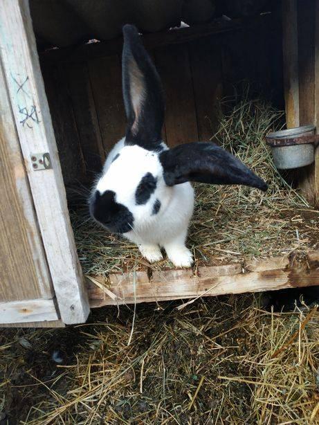 Описание кроликов породы строкач