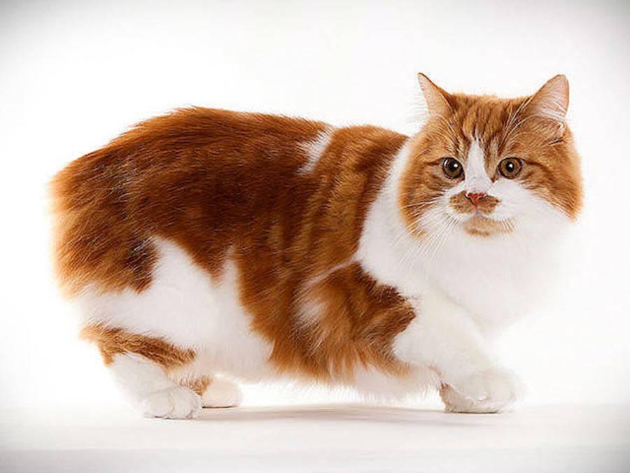 Мэнская бесхвостая - порода кошек - информация и особенностях | хиллс