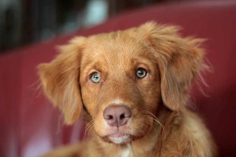 Новошотландский утиный ретривер — описание породы собак