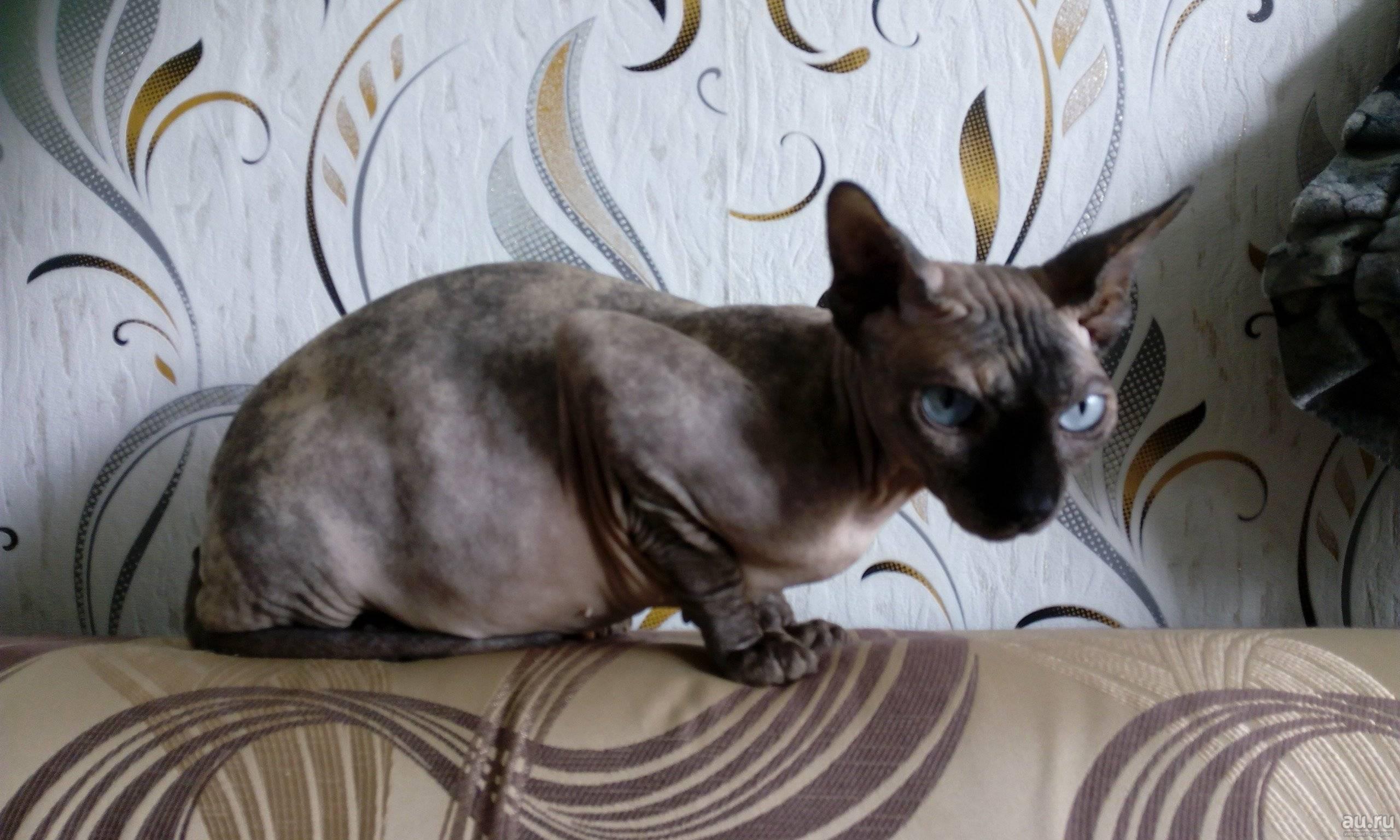 Кошки метисы: описание внешности и характера, уход за питомцем и его содержание, выбор котёнка, отзывы владельцев, фото кота