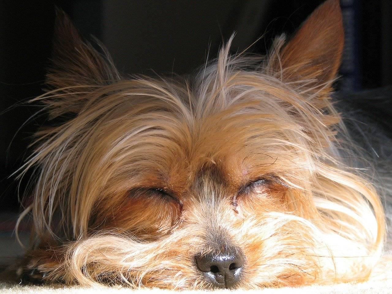 Йоркширский терьер дрожит: почему трясется собака и считается ли это патологией, а также обзор основных причин такого состояния