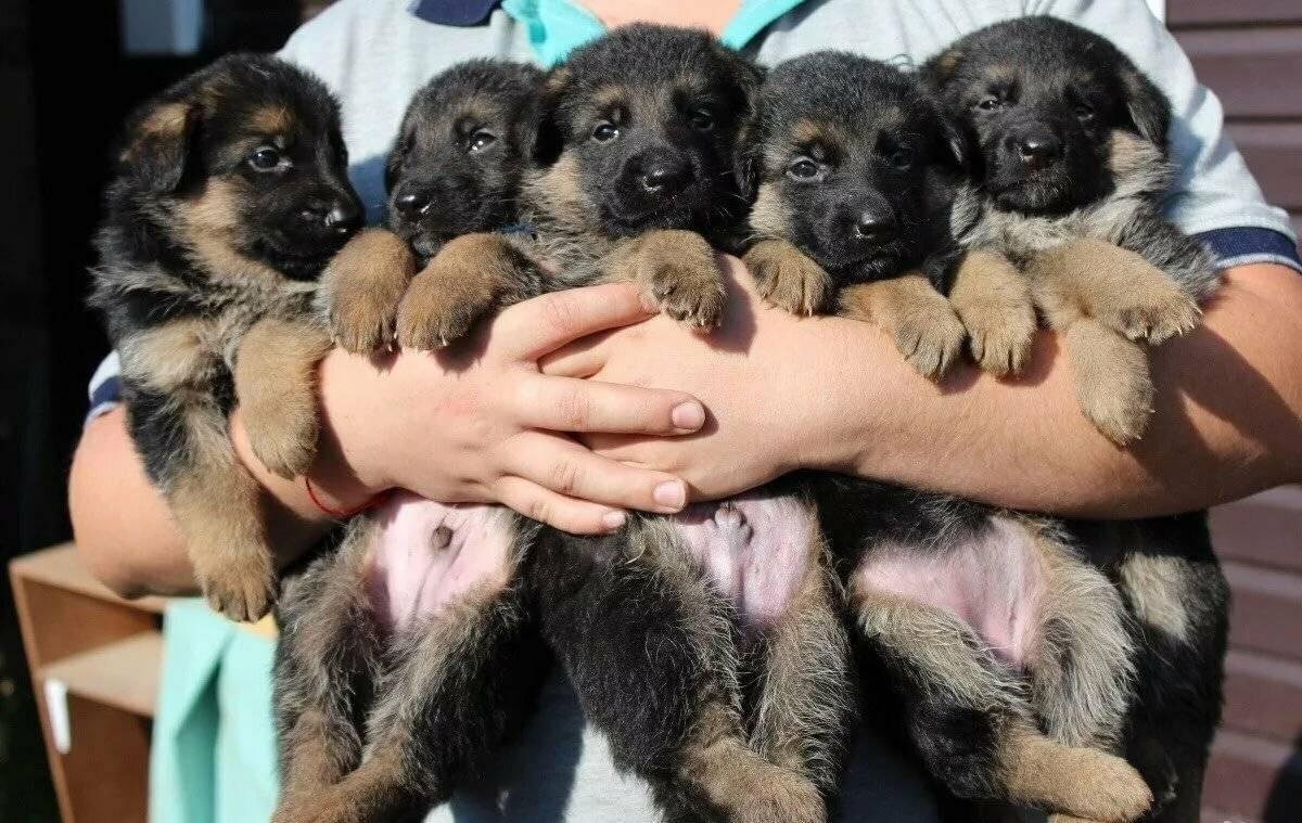 Как выбрать щенка немецкой овчарки? правильный выбор здорового щенка из помета для охраны дома. на что обратить внимание при покупке?
