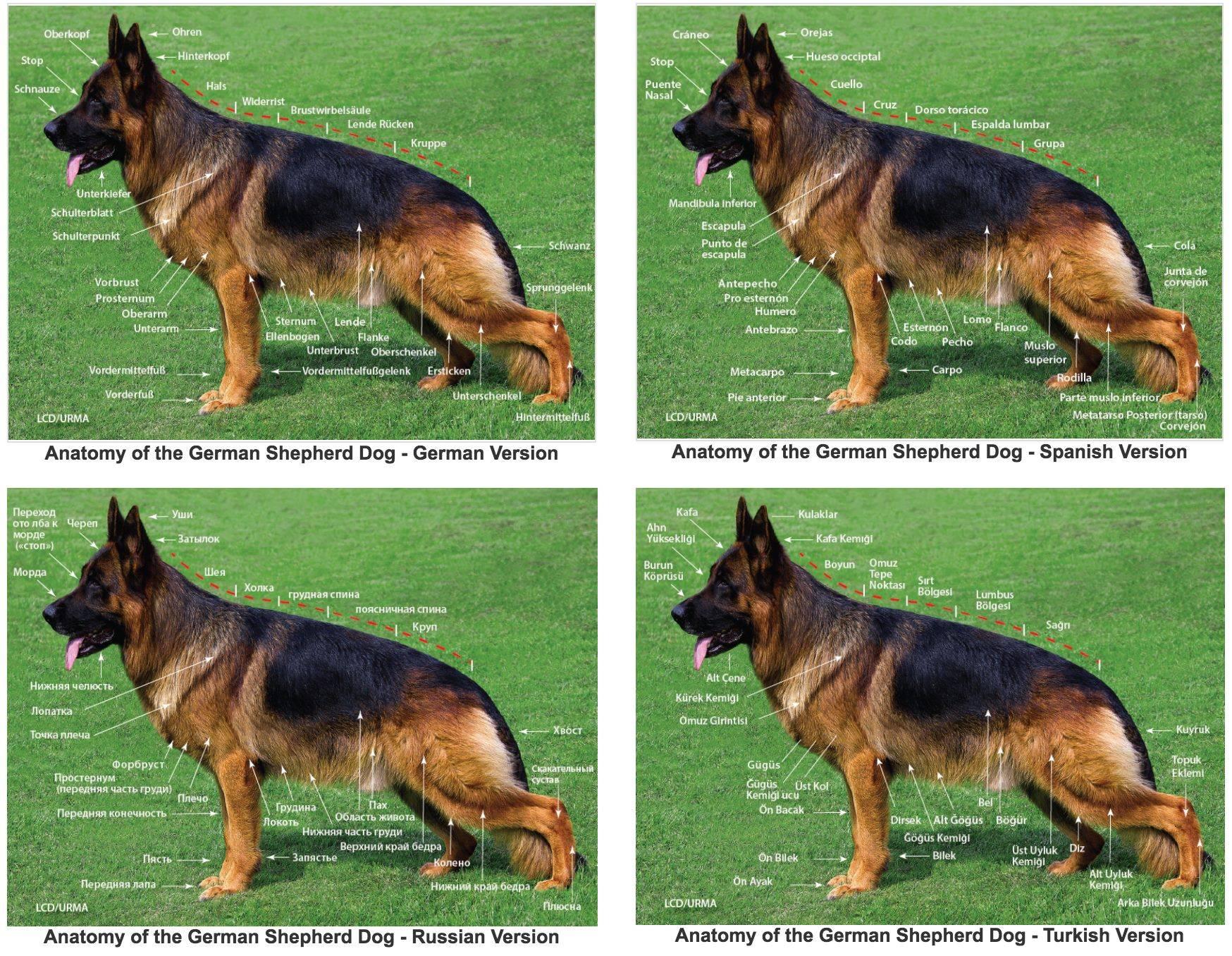 Немецкая овчарка описание, плюсы и минусы, выбор щенка, питомники.