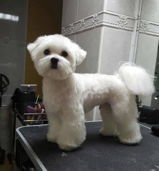 Как подстричь мальтезе в домашних условиях  | собаки мира