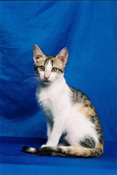 Бразильская короткошерстная кошка: ласковая красавица с крепким здоровьем